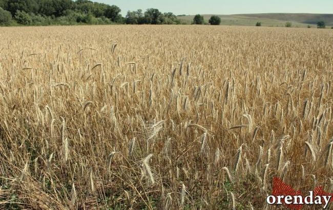 Оренбургский фермер выплатит штраф за потенциально опасную пшеницу